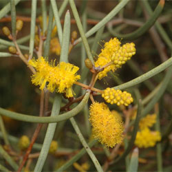 Acacia Aneura Growing Native Plants