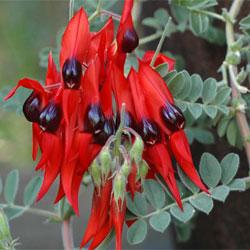 Swainsona Formosa Growing Native Plants
