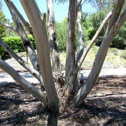 how to kill a gum tree fast