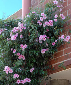 Pandorea Jasminoides Growing Native Plants