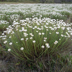 Rhodanthe anthemoides growth habit