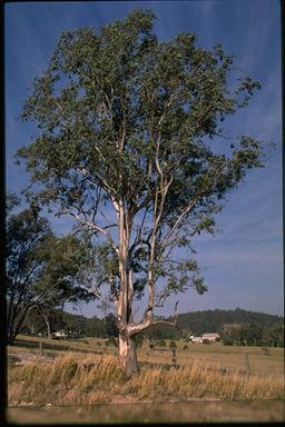 APII jpeg image of Eucalyptus glaucina  © contact APII