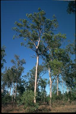 APII jpeg image of Corymbia intermedia  © contact APII