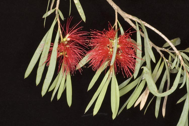 APII jpeg image of Callistemon phoeniceus  © contact APII