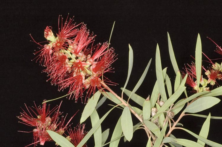APII jpeg image of Callistemon viminalis 'Hen Camp Creek'  © contact APII