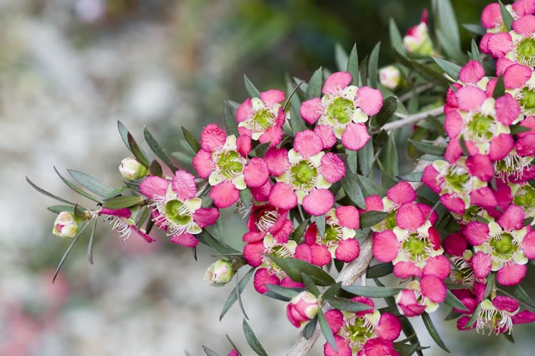 APII jpeg image of Leptospermum 'Rudolph'  © contact APII