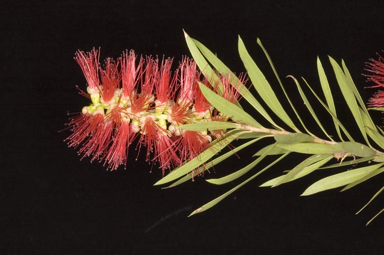 APII jpeg image of Callistemon viminalis 'Cedar Creek'  © contact APII