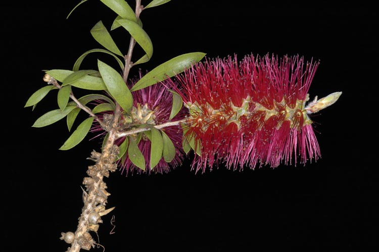APII jpeg image of Callistemon  © contact APII