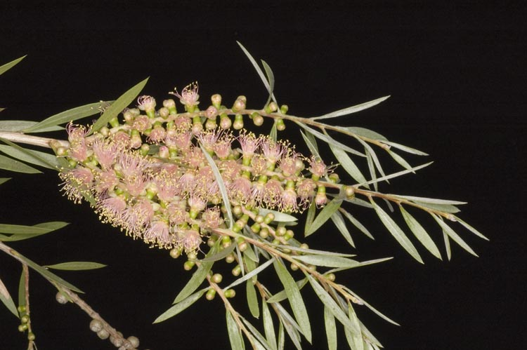 APII jpeg image of Callistemon 'Apricot Pink'  © contact APII