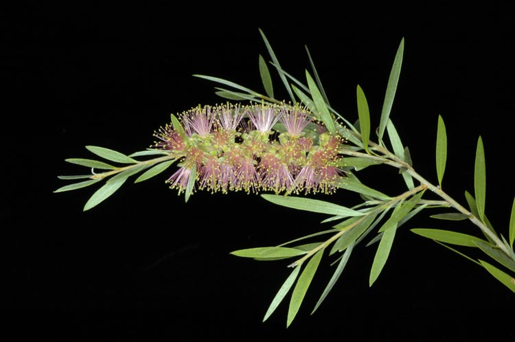 APII jpeg image of Callistemon 'Baroondah Station'  © contact APII