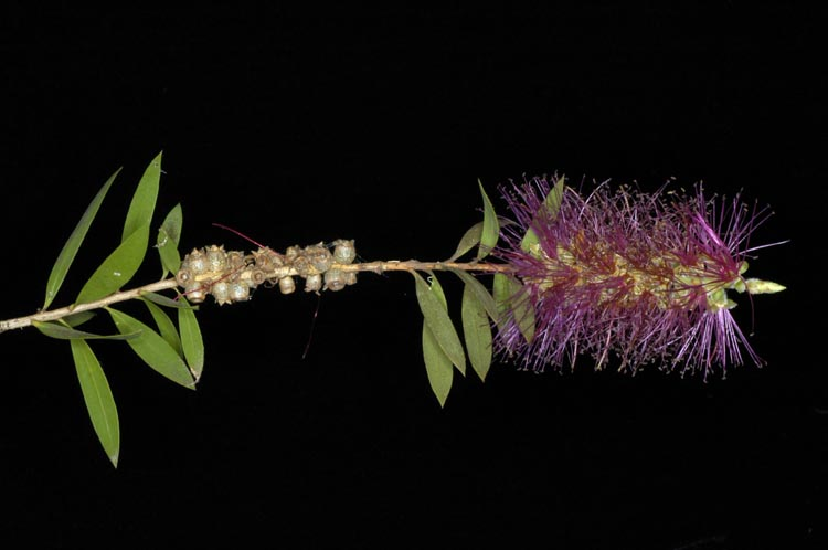 APII jpeg image of Callistemon 'Mt. Drummer'  © contact APII