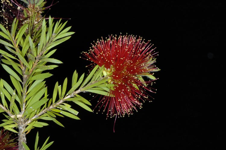 APII jpeg image of Callistemon pearsonii  © contact APII