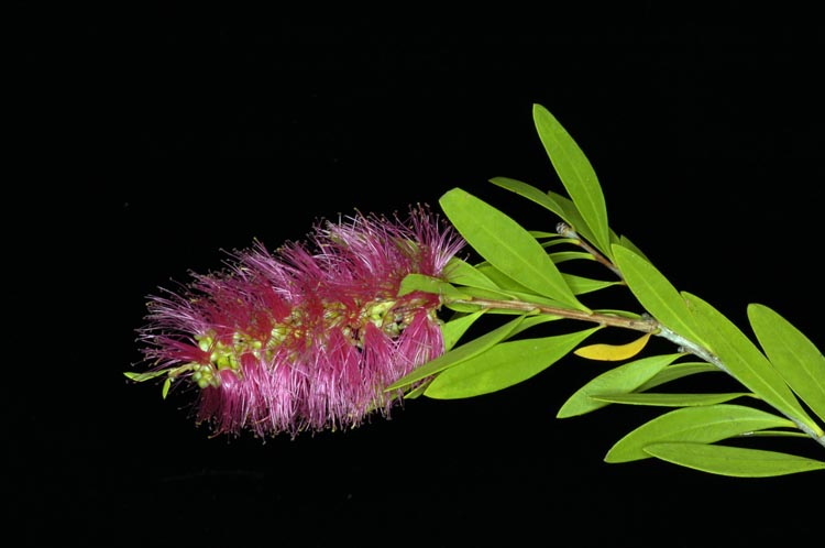 APII jpeg image of Callistemon polandii 'Peak Downs'  © contact APII