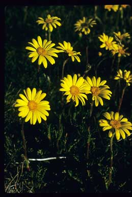 APII jpeg image of Senecio pectinatus  © contact APII