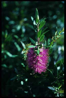 APII jpeg image of Callistemon 'Prestige Pink'  © contact APII