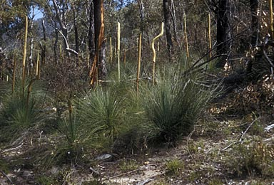 APII jpeg image of Xanthorrhoea resinosa  © contact APII