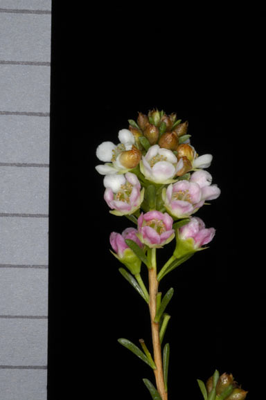 APII jpeg image of Chamelaucium 'Blossom Fireball'  © contact APII
