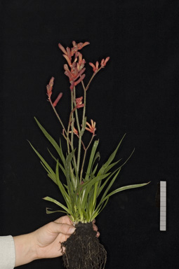 APII jpeg image of Anigozanthos 'Bush Inferno'  © contact APII