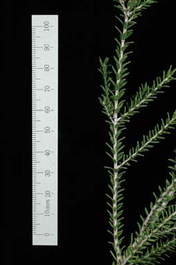 APII jpeg image of Melaleuca lanceolata 'Short1GL'  © contact APII