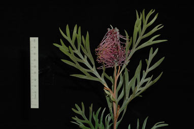 APII jpeg image of Grevillea 'Dorothy Gordon'  © contact APII