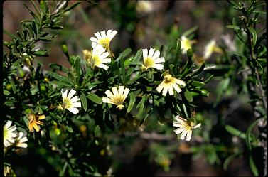 APII jpeg image of Scaevola prinescens  © contact APII