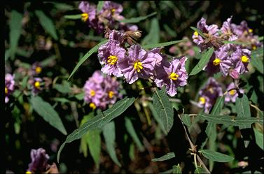 APII jpeg image of Solanum curvicuspe  © contact APII