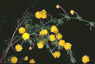 APII jpeg image of Acacia anarthros  © contact APII