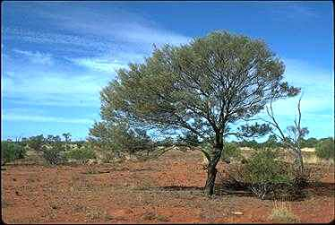 Australian National Botanic Gardens Growing Acacia