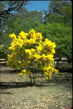 Photo of Acacia boormanii