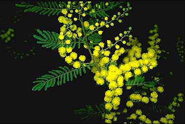 Photo of Acacia cardiophylla