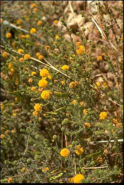 APII jpeg image of Acacia chippendalei  © contact APII