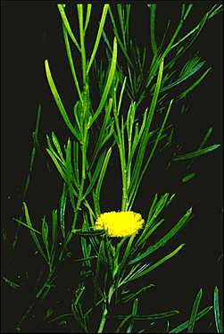 APII jpeg image of Acacia chisholmii  © contact APII