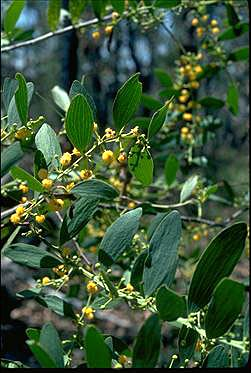 Photo of Acacia complanata