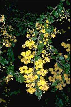 APII jpeg image of Acacia costiniana  © contact APII