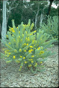 APII jpeg image of Acacia covenyi  © contact APII