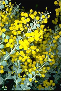 Photo of Acacia cultriformis