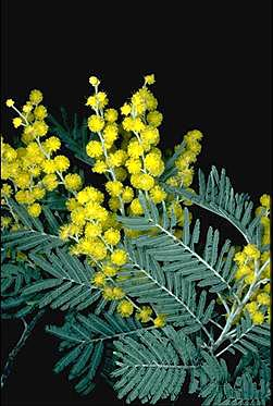 Photo of Acacia dealbata