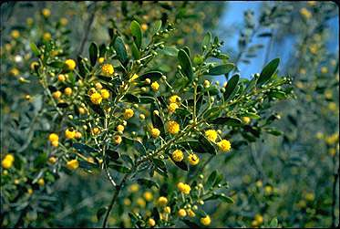 APII jpeg image of Acacia dictyophleba  © contact APII