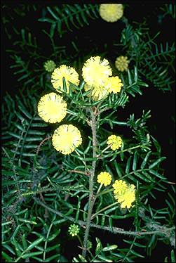 APII jpeg image of Acacia empelioclada  © contact APII