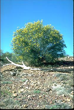 APII jpeg image of Acacia ensifolia  © contact APII