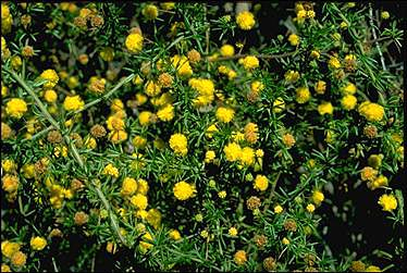 APII jpeg image of Acacia epacantha  © contact APII