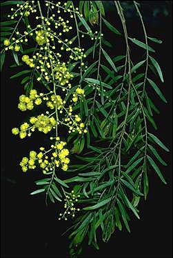 APII jpeg image of Acacia fimbriata  © contact APII