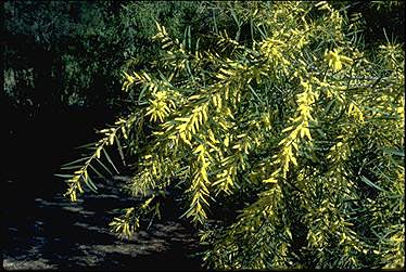 APII jpeg image of Acacia floribunda  © contact APII