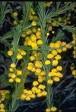 APII jpeg image of Acacia gittinsii  © contact APII