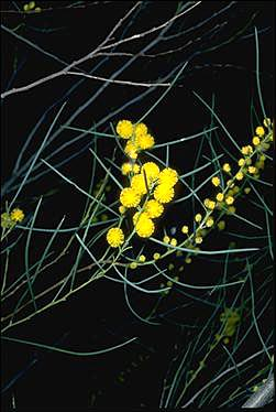 APII jpeg image of Acacia havilandiorum  © contact APII