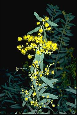 APII jpeg image of Acacia kybeanensis  © contact APII