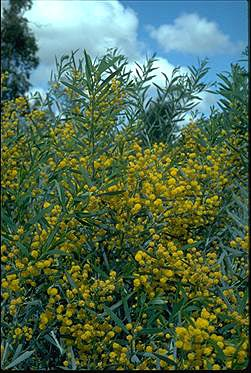 APII jpeg image of Acacia ligulata  © contact APII