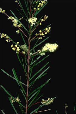 APII jpeg image of Acacia linifolia  © contact APII