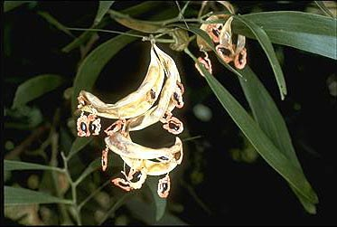 Photo of Acacia melanoxylon