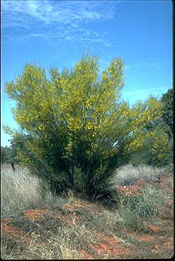 APII jpeg image of Acacia murrayana  © contact APII